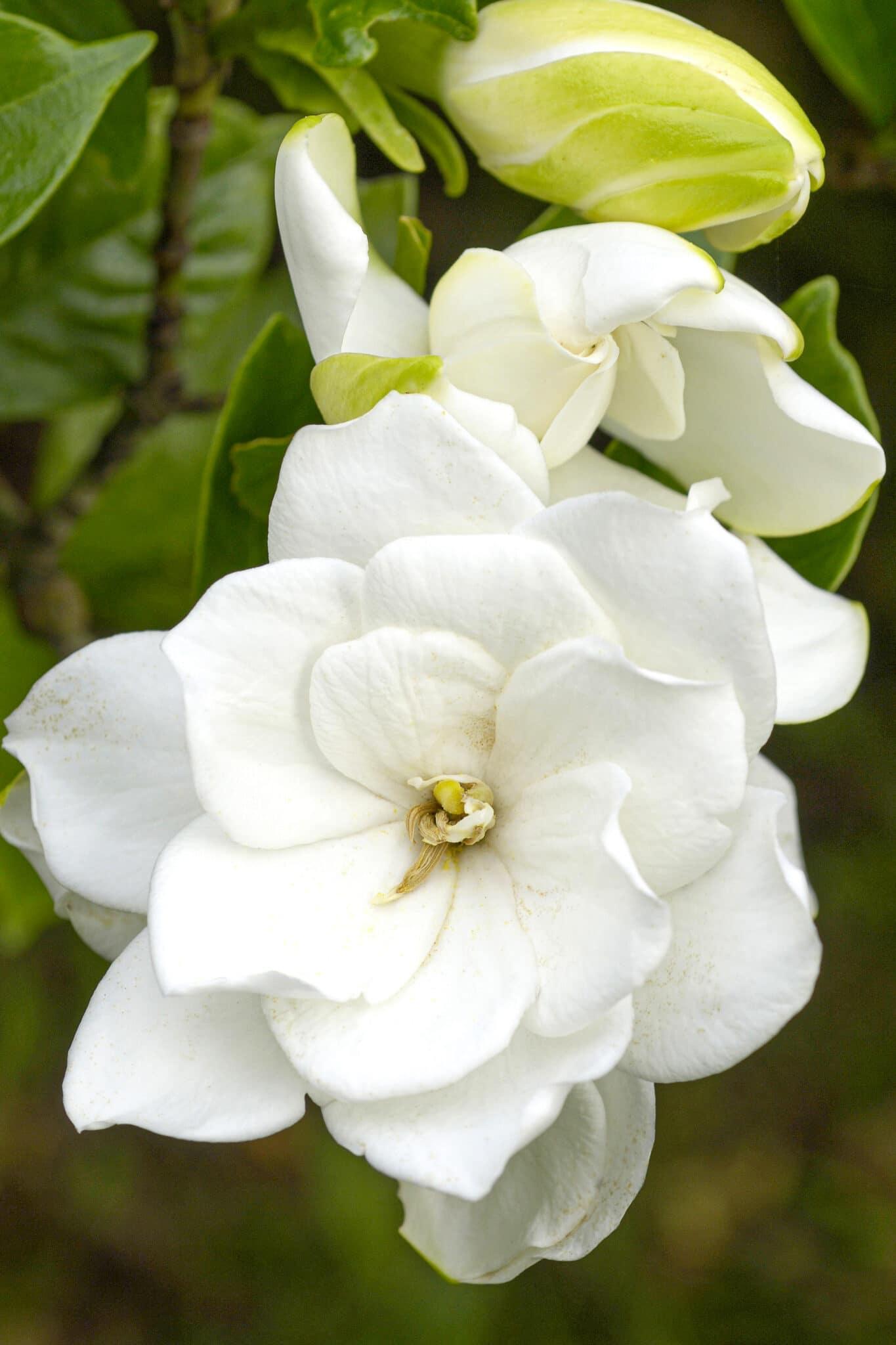The lovely white gardenia in full bloom against  dark green foliage.