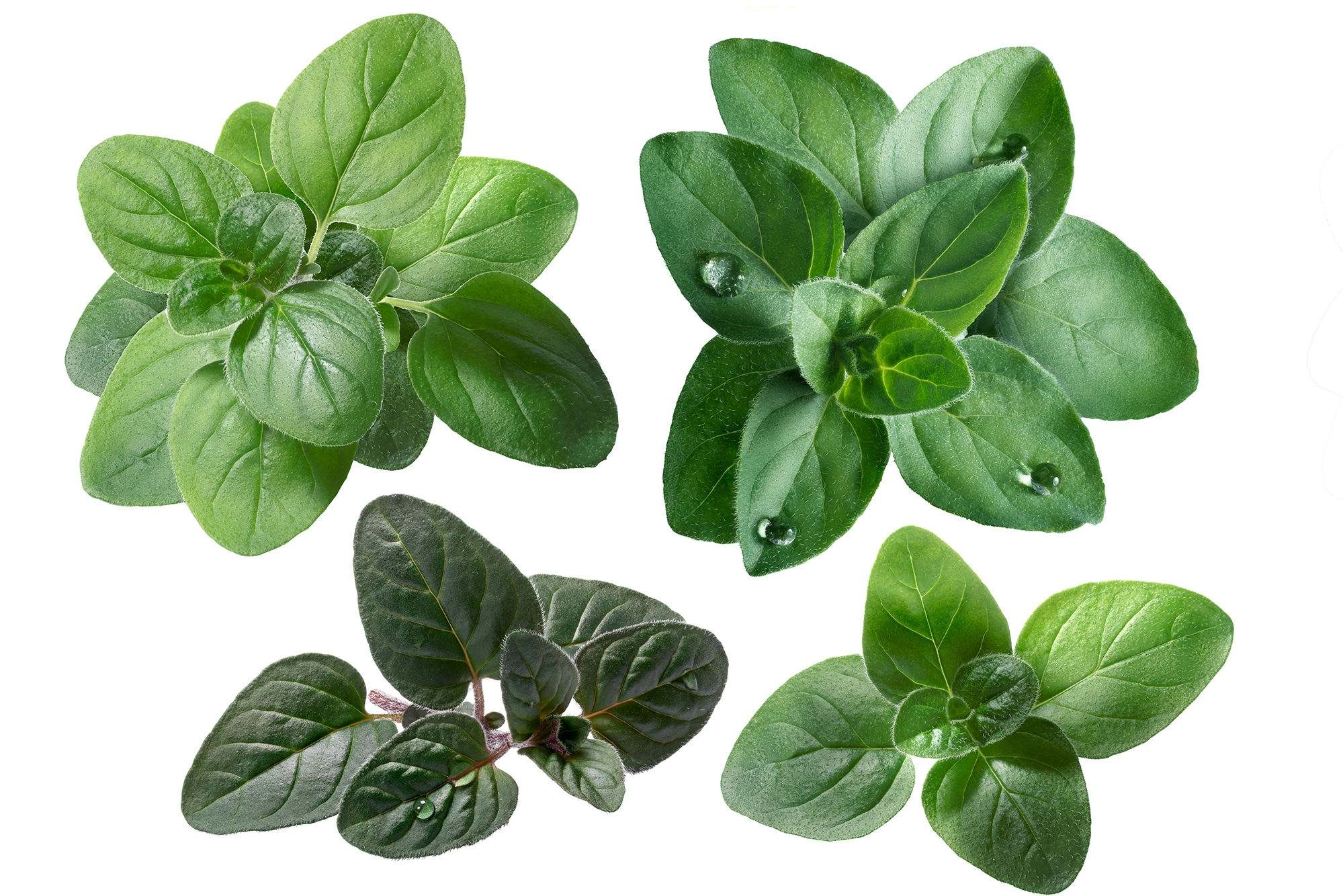 Different types of oregano sprigs against a bright white background.
