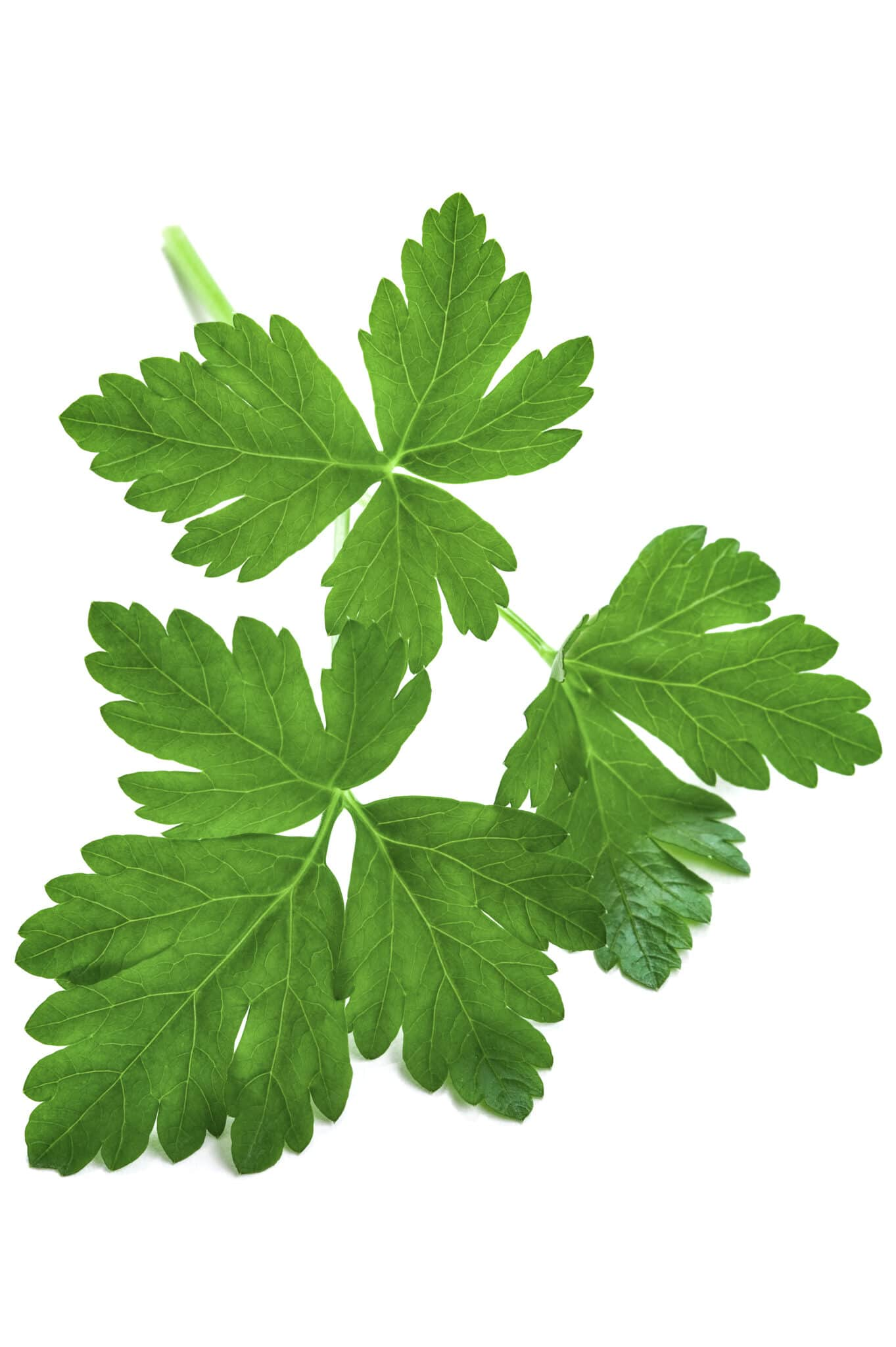 An image of a sprig of bright green freshly picked flat leafed parsley.