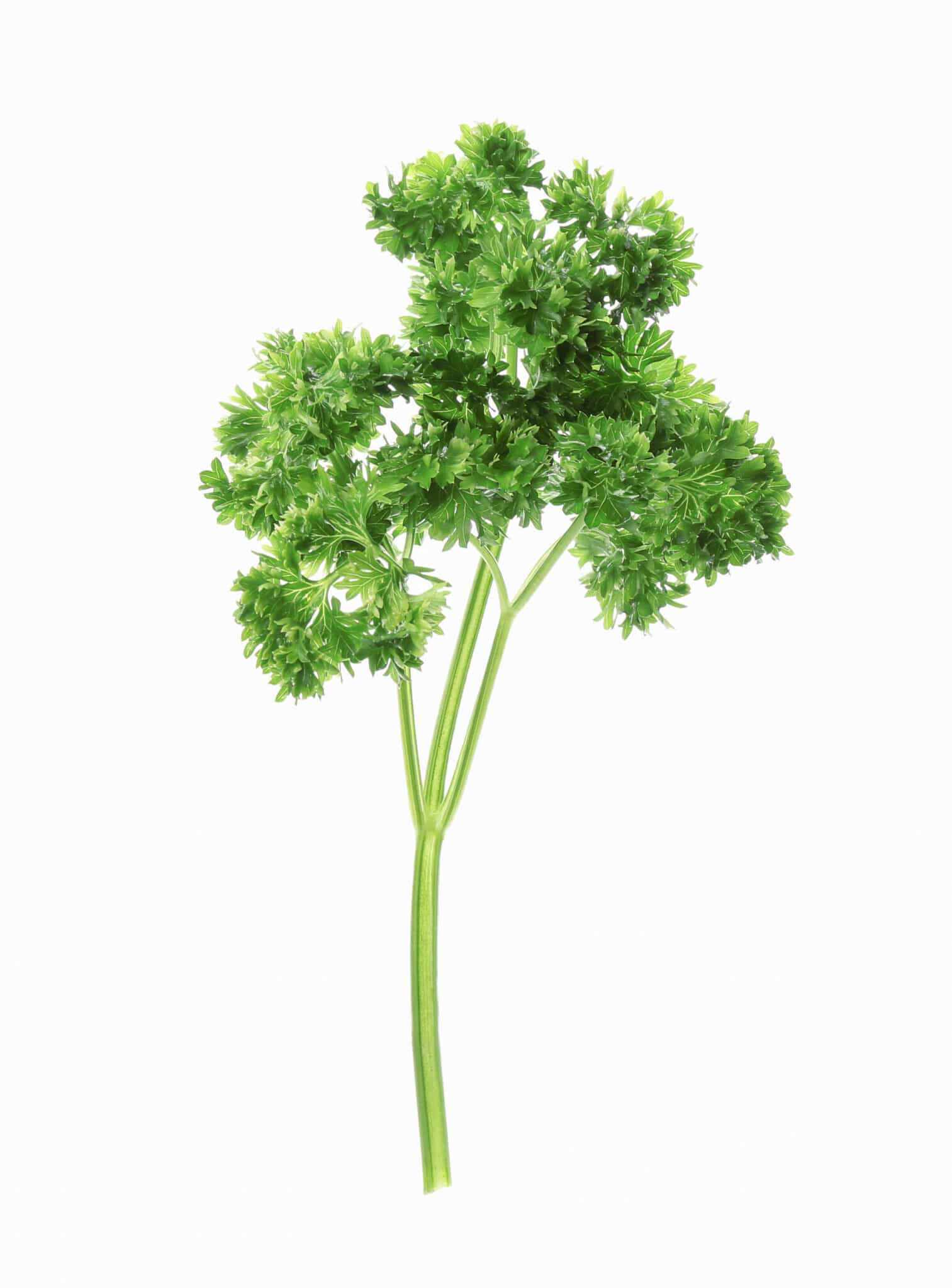 Fresh green curly parsley on white background.