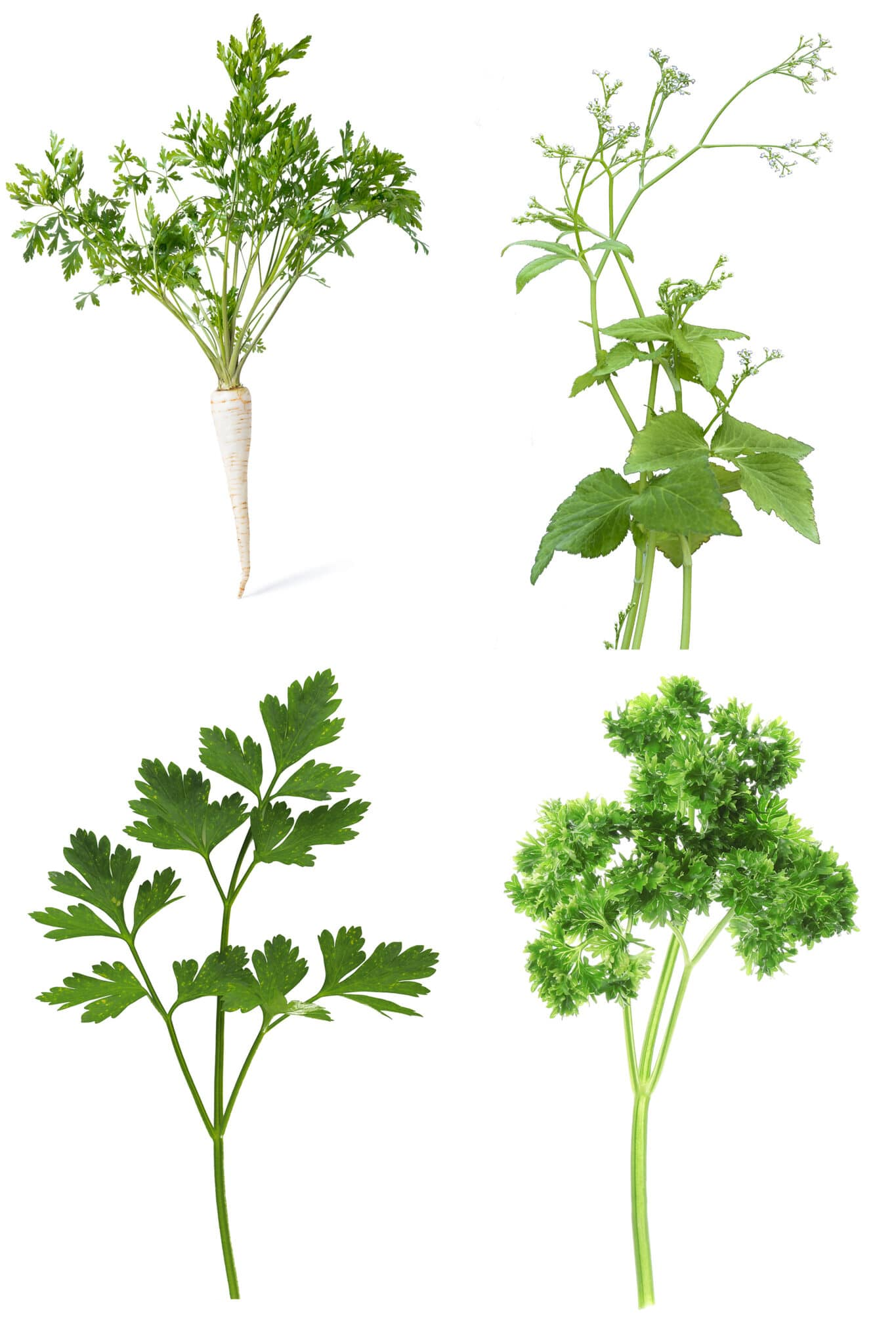 4 images of sprigs of  different types of parsley plants against a bright white background.