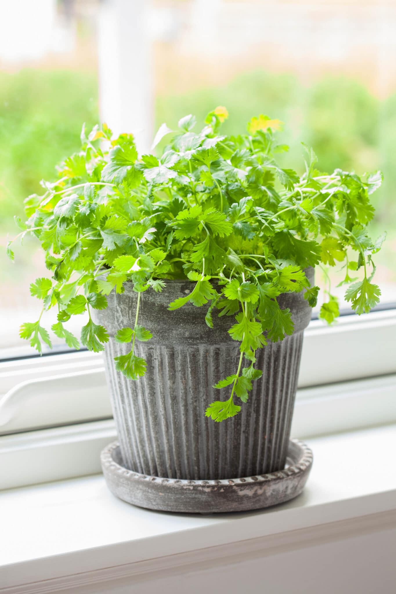 Cilantro growing on a windowsill.