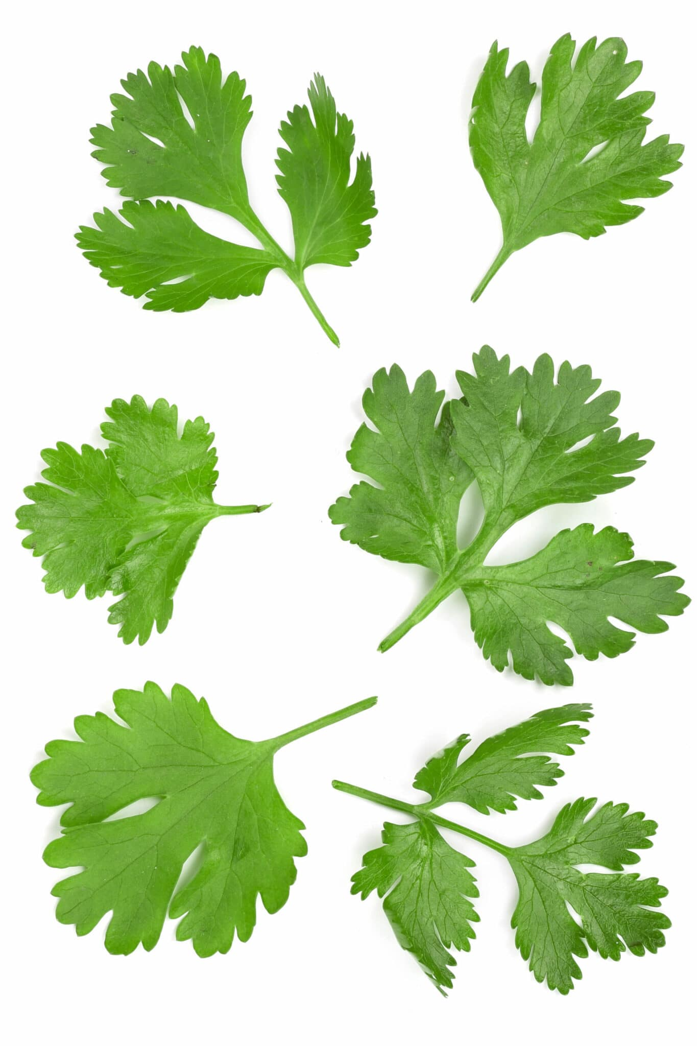 Several types of cilantro leaves on a white background.