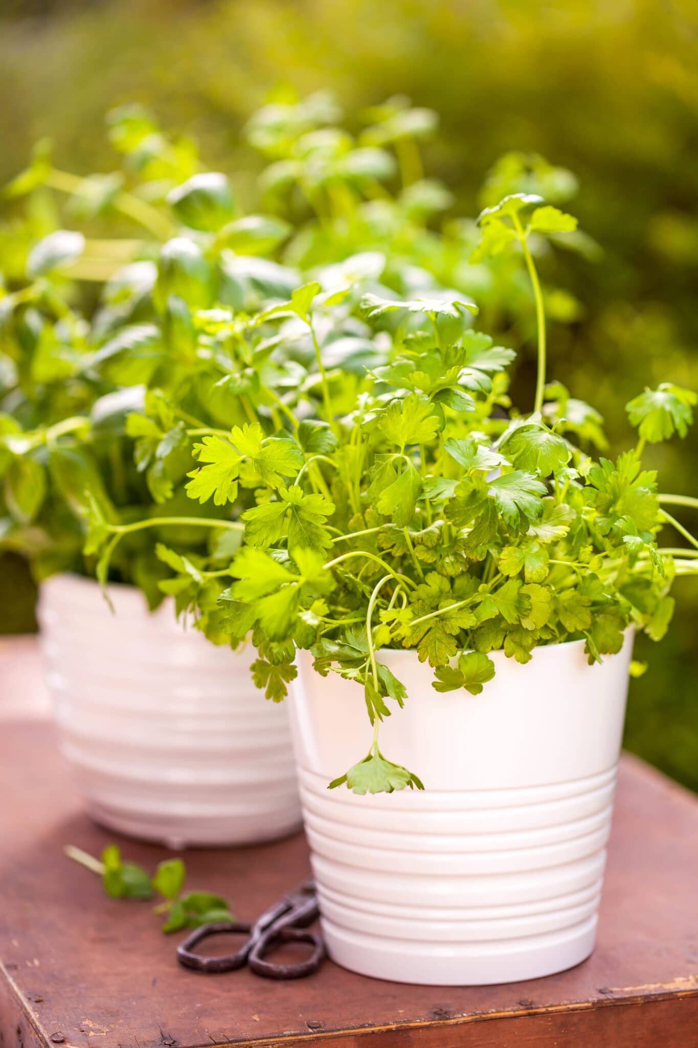A cilantro plant growing in a pot.