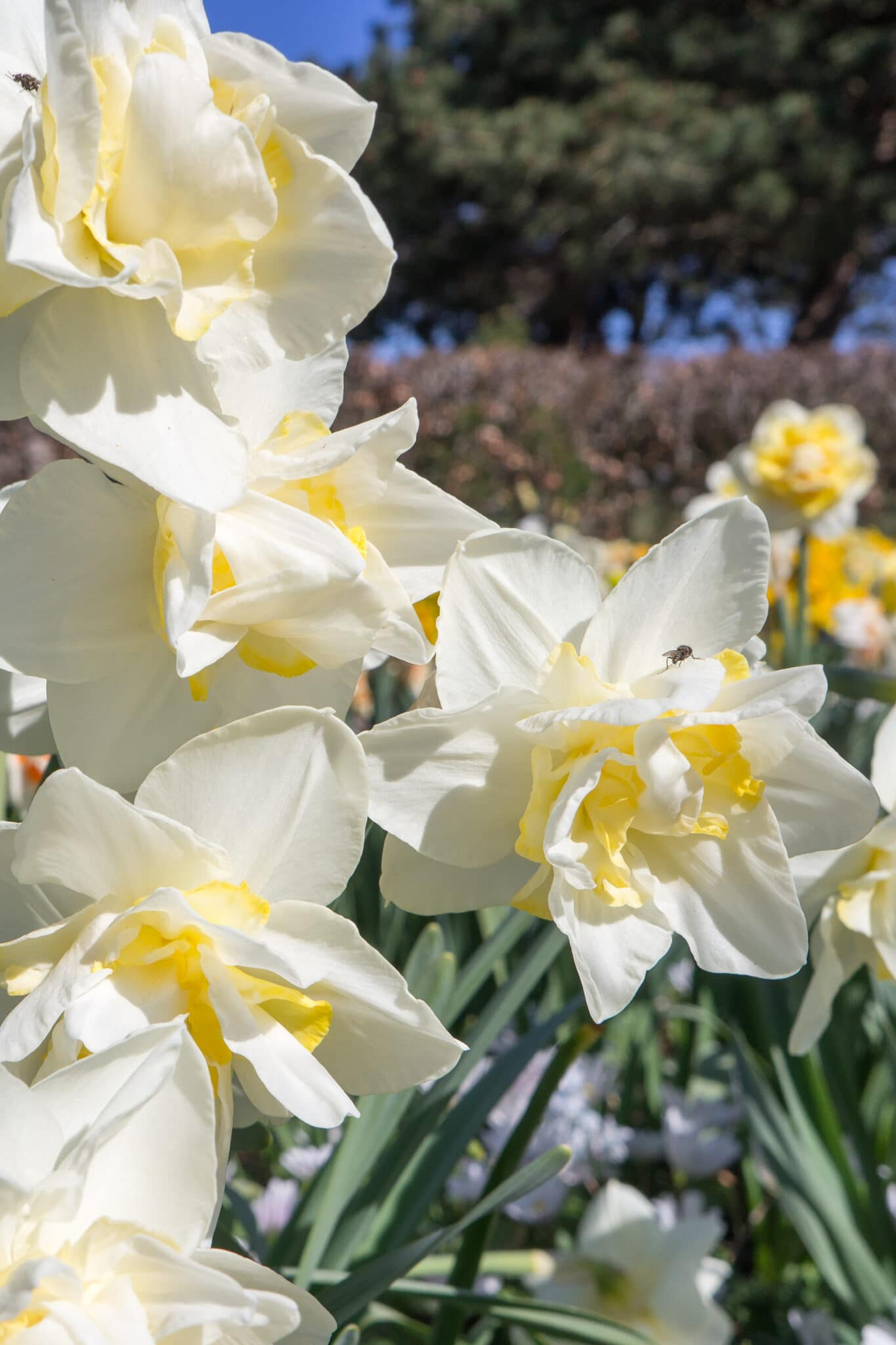 Pretty white daffodils fully bloomed in a spring garden.