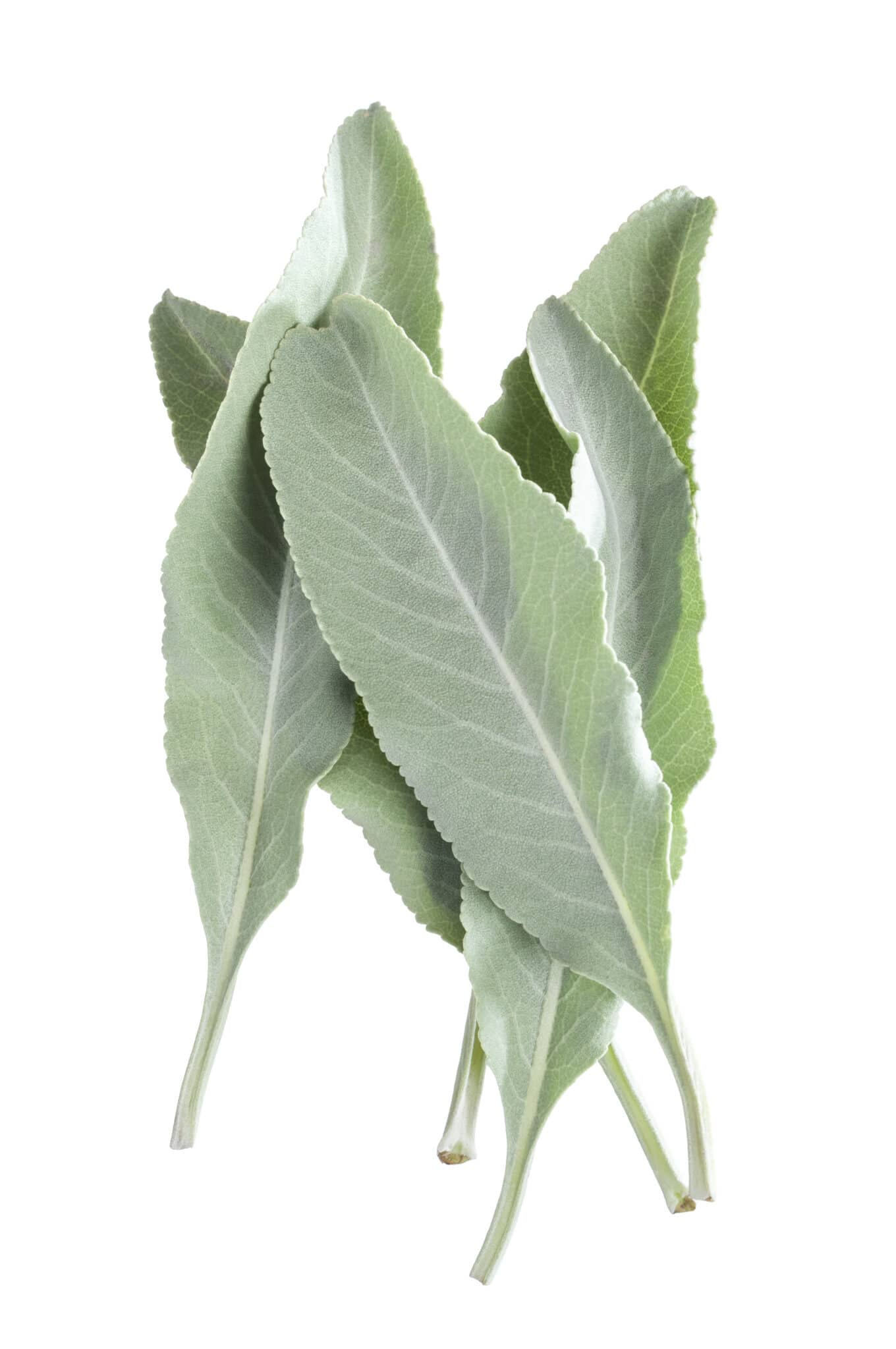 Closeup of small pile of five fresh white sage Salvia apiana leaves isolated on white background