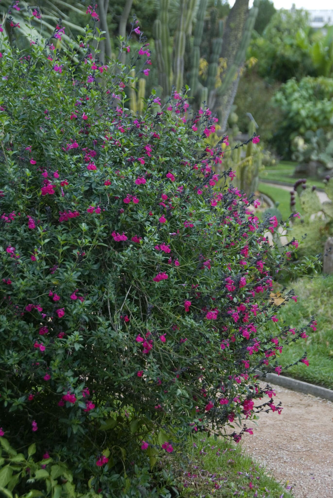 A large healthy bush of Autumn Sage growing in an outdoor garden.