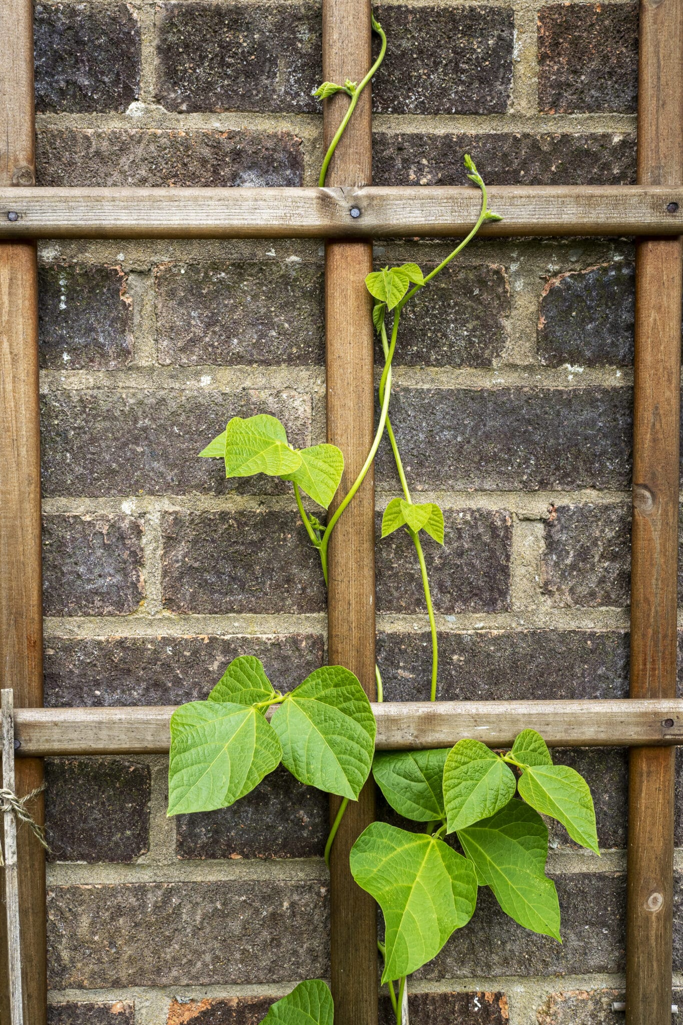 Runner bean plant with green leaves and tendrils climbing up a wooden trellis on a brick wall.