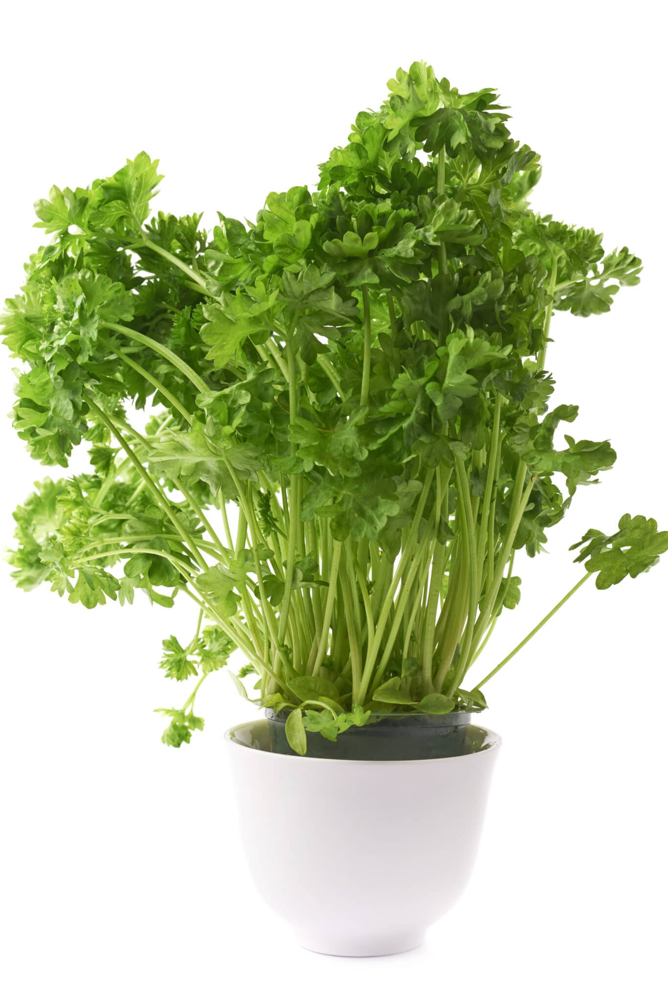 garden parsley plant in a white ceramic pot, composition isolated over the white background.