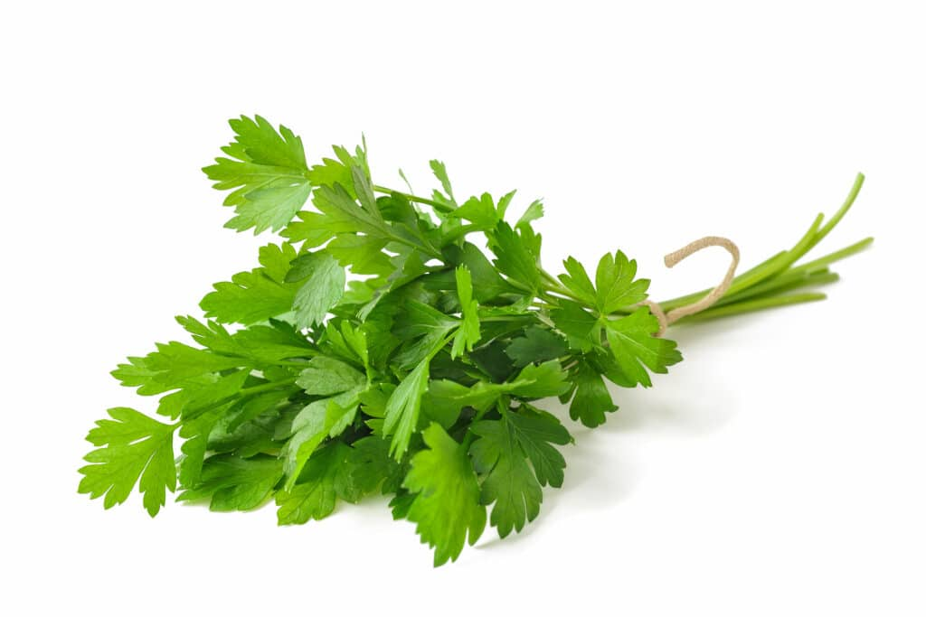 parsley bunch tied isolated on white background