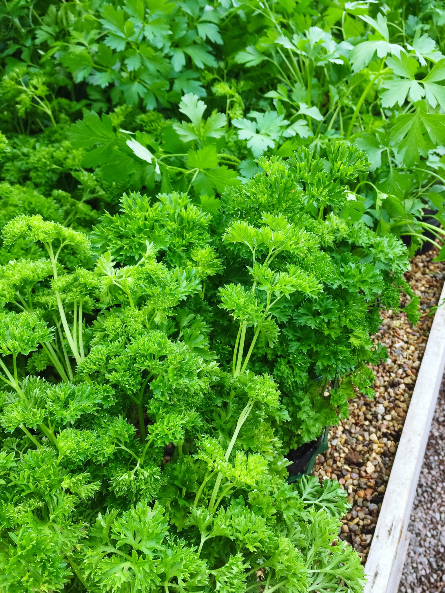 Curly and Italian parsley growing in pots. Summer vegetable garden.