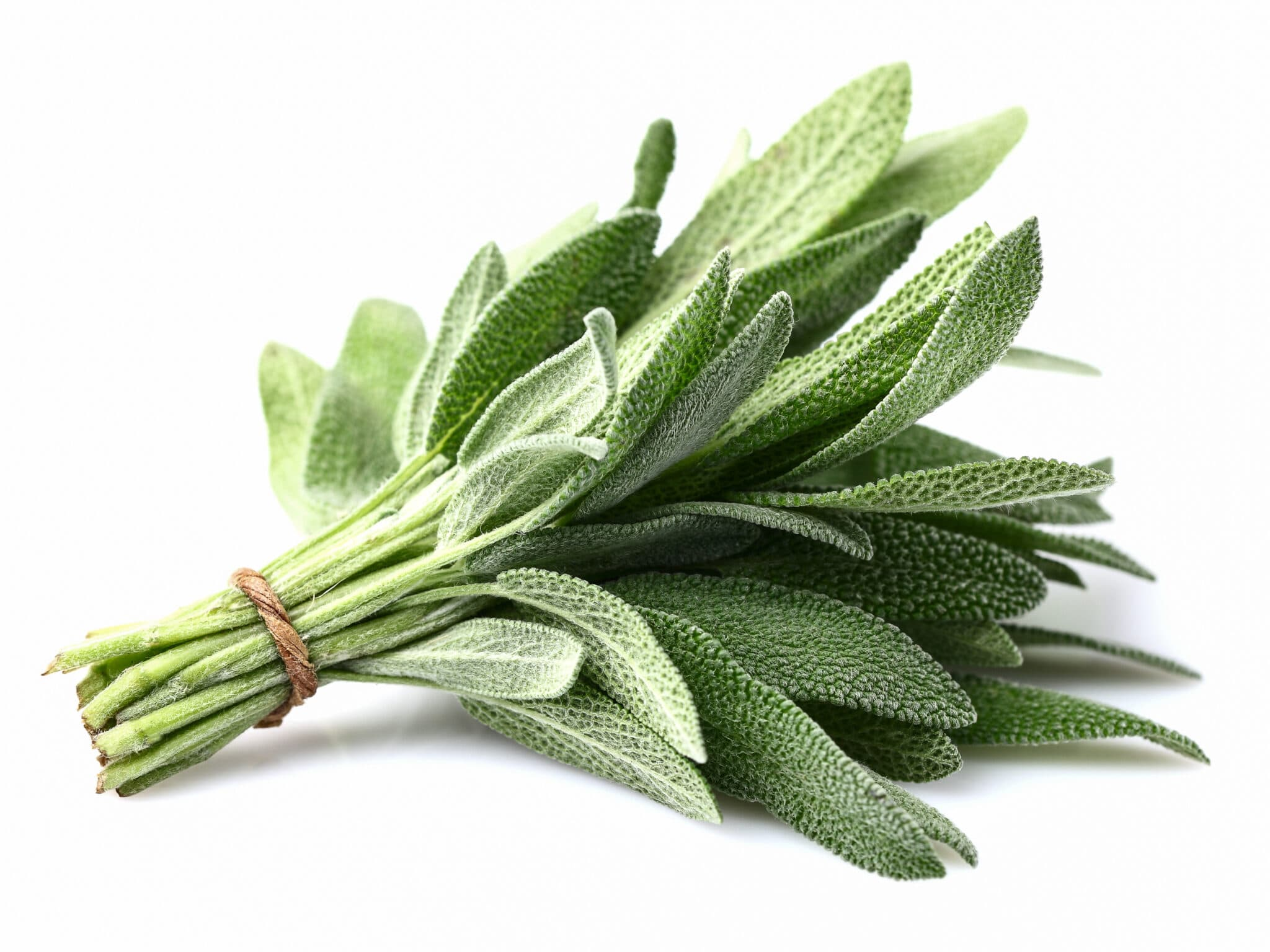 Fresh bunch of bright green sage plant leaves.