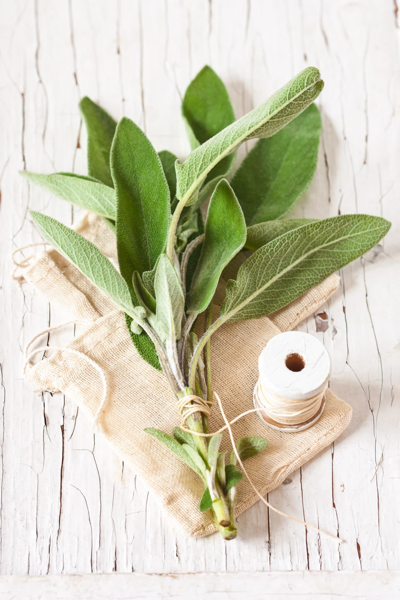 A bundle of fresh sage leaves being tied for drying.