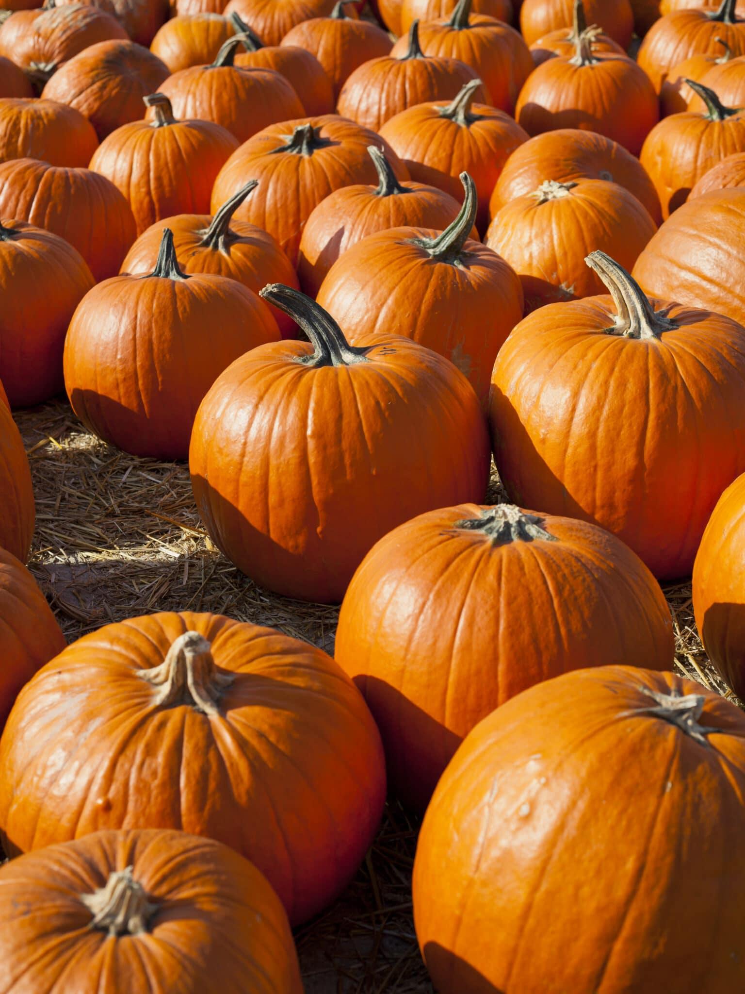 a display of perfectly ripe bright orange pumpkins.