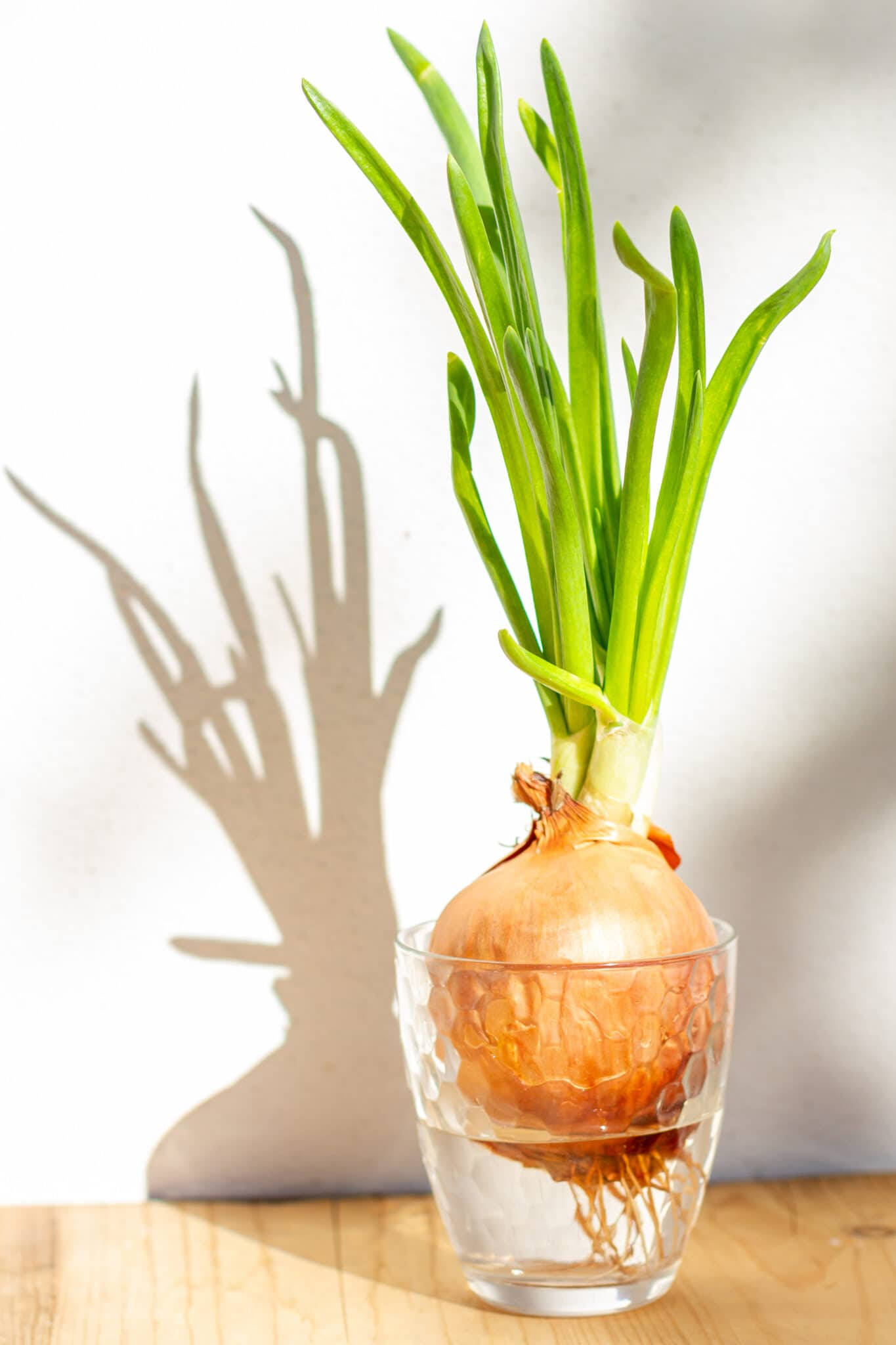 Sprouted green onions in a glass of water.