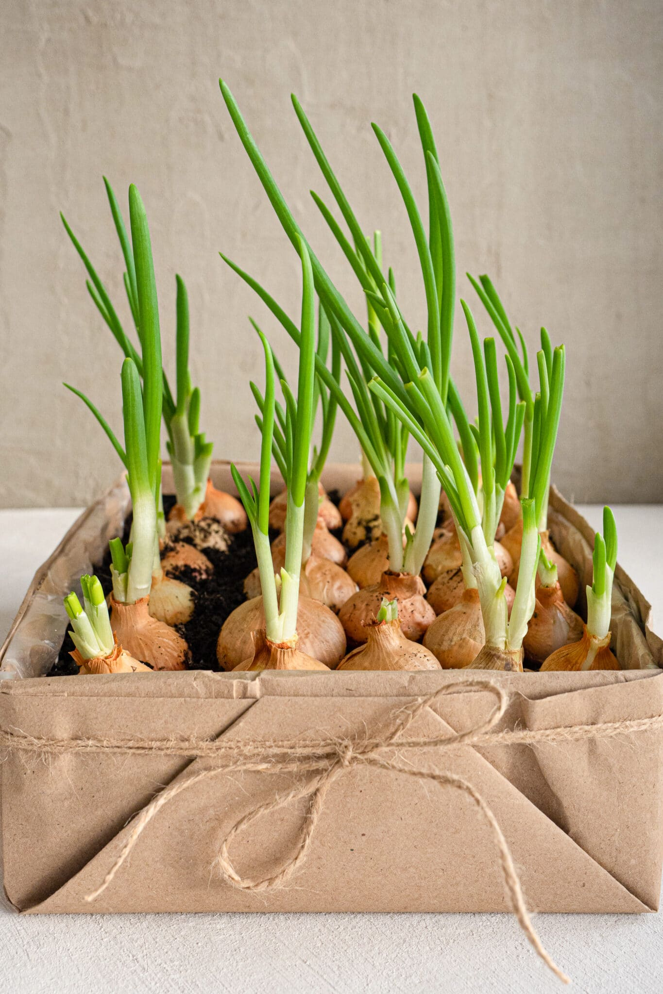 Green onions growing in a box container with a a piece of ribbon twine around the front.